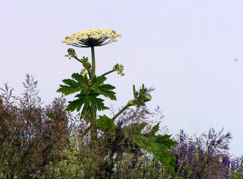 так выглядит это опасное растение борщевик в диких условиях
