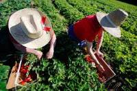 Собирают урожай