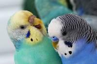 Как долго помнит волнистый попугай